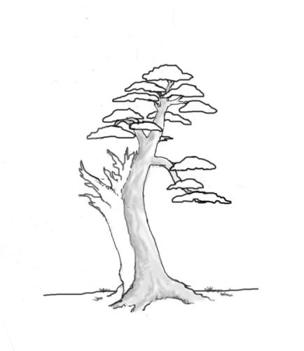yew-drawing-10.jpg