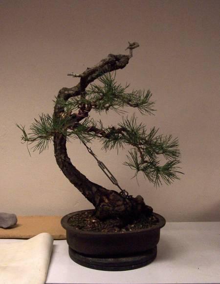 Bonsai Workshop Page 2 The Bonsai Blog Of Hans Van Meer