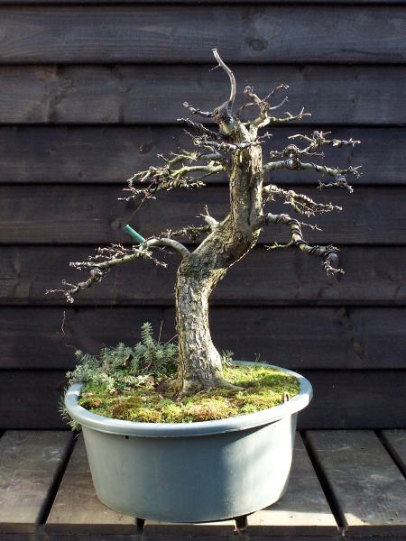 "This is a other Dutch ""Hawthorn"" Yamadori I collected near the coast line, close to were I live. I collected it because it had a nice root base and a nice gentle curve in the lower part of the trunk. So I had to cut down the tree considerably to get to the, more or less, correct height in comparison to the thickness and style of the tree. There was not one single branch left on the tree, when I was finished. Even my wife tooled me, I over did it this time! NOT! HIHI! Next season I had plenty long shoots to select my future branches and top from. I wired the branches in there new position and made a new top, in such a way that there would be more taper, in a way the new top would compliment the large wound that was left after the trunk chop! This wound was connected with the natural Shari that runs down the right top side of the tree. This new top grew so hard that it became to strong, long and thick, so last year I cut off the new top, just above a strong side shoot. I than raised this shoot with wire and created a new top with it. I hollowed out the wound I was left with extra deep, only leaving a ring of bark with cambium. This wall of bark is cut on the NORTH and the SOUTH with a V cut! Now you can fold the 2 bark flab's together. With a scalpel I will cut away just enough, so they will fit as best as possible! Than the complete wound was covered with sealing paste and than a piece of plastic was used to hold the two part firmly into place. I have tried this technique many times before and it those not always work as good on all species. But what can I lose? I would have been left with a large scare any way! But it works? I would be left with a natural looking smaller wound! But that is for the future! First some wiring and than repotting this tree."