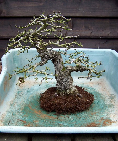 Who sad that you could not get, a easy to repot, root system on a Hawthorn?