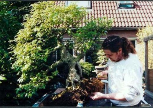 "I came across this picture from 1994. It is me repotting (alone) my huge Celtis chinensis. This tree ""THE LION CRUSHER"" was once a proud part of my growing collection those days. I loved this tree, because it was, a tree! You felt dwarfed, when you looked at it from close by. It gave me the feeling that I use to feel when I was a little child, playing under need a big tree in the forest. But I had to let it go to warmer places, it was struggling to much in my cold climate! Showing this difficult species at the ""Ginkgo Award"" was a highlight for me and the tree. I still miss the feel off this real tree!"