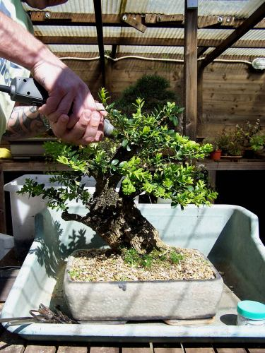 Here he is working over the wound of a large branch he just removed. This Buxus yamadori has the perfect size!
