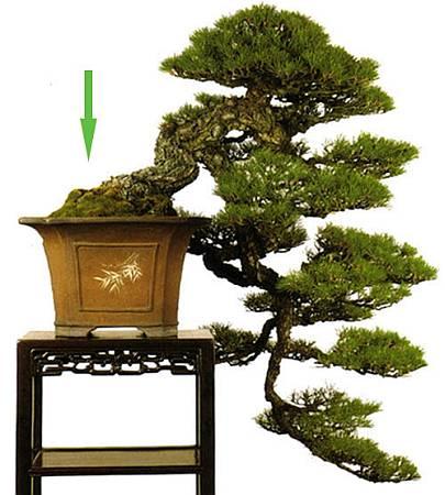 cascade-pine-11