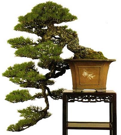 cascade-pine-2