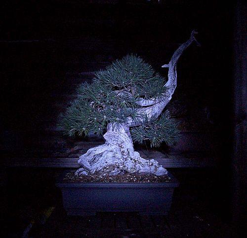 Pinus Uncinata.