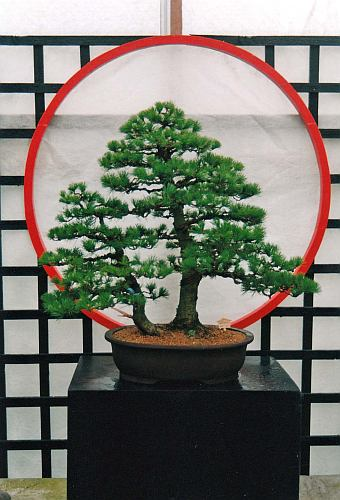 IMG_0074 Pinus parviflora Edo bonsai Jan 1997 Hans van Meer
