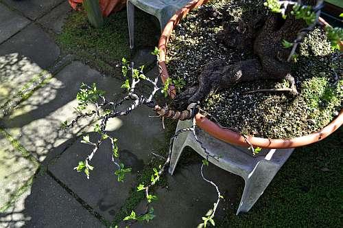 24-4-2016 Prunus mahaleb 377 hans van meer 500