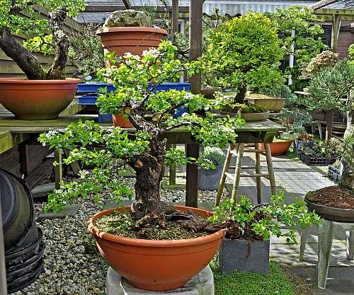 24-4-2016 Prunus mahaleb 399 hans van meer 500