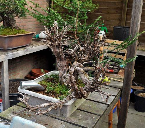 31-3-2012 verpoten Taxus 005 Hans van Meer 500