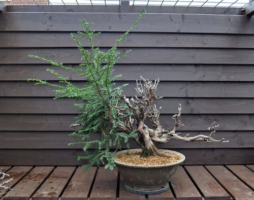 31-3-2012 verpoten Taxus 048 Hans van Meer 500
