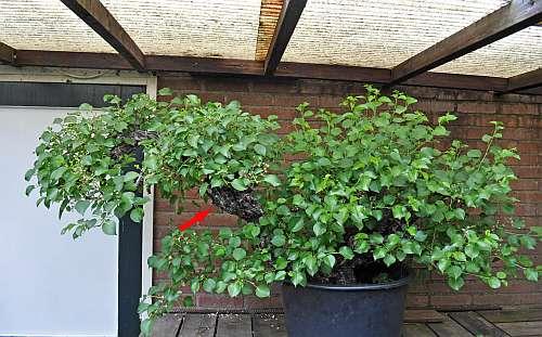 17-5-2016 Prunus mahaleb 003 hans van meer 500