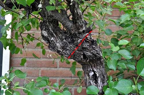 17-5-2016 Prunus mahaleb 010 hans van meer 500