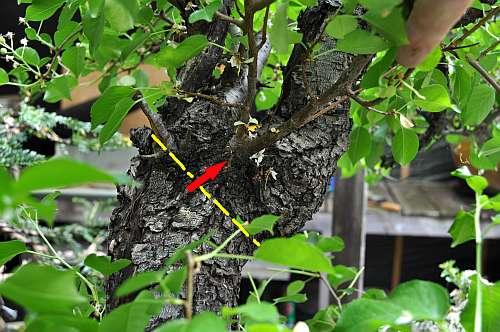 17-5-2016 Prunus mahaleb 017 hans van meer 500