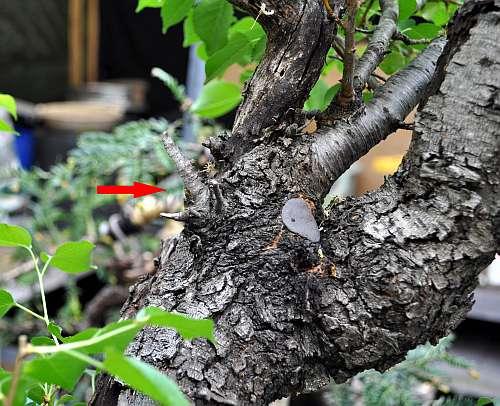 17-5-2016 Prunus mahaleb 034 hans van meer 500