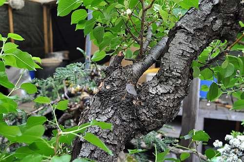17-5-2016 Prunus mahaleb 043 hans van meer 500