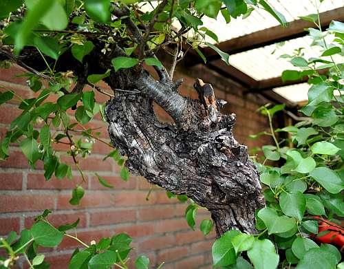 17-5-2016 Prunus mahaleb 046 hans van meer 500