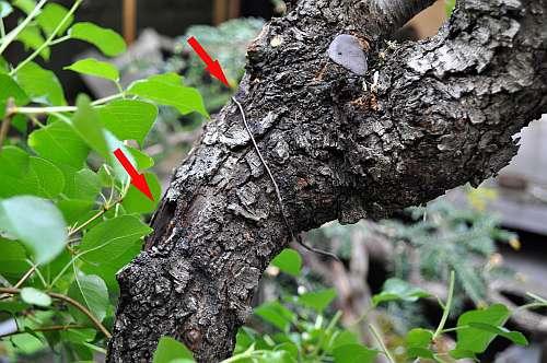 17-5-2016 Prunus mahaleb 053 hans van meer 500